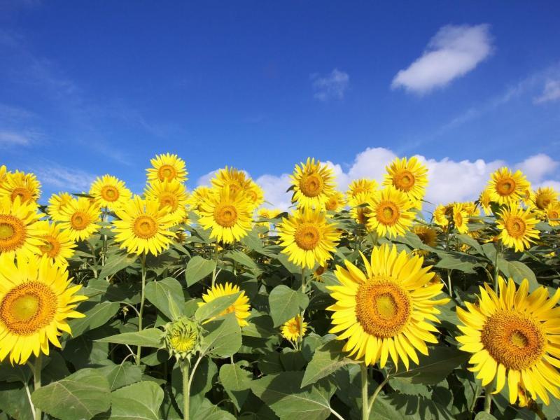 подсолнух-цветы-небо-облака-800x600